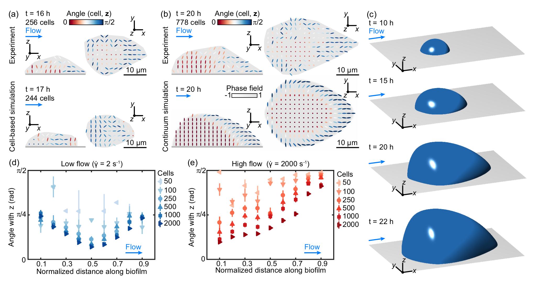 Verticalization wave in a biofilm
